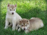 Rin is a Gorgeous red and white Husky pup! He will make