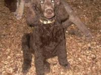 ACA registered standard poodle puppy. He is 5 months
