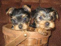 2 attractive little female yorkies, have been vet