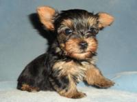 Tea Mug Lady Yorkie New puppy. Born April 16, She can