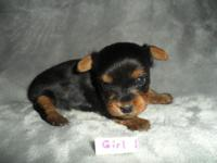 ACA Yorkie Female Teacup Puppy. Born 11-7 she can go