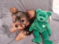 Grizzly is a full grown teacup Yorkie. He has tons of