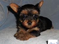ACA Tiny Guy Yorkie New puppy. He will be close to 4.5