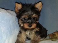 ACA Tiny Male Yorkie Puppy. He will be close to 4.5 - 5