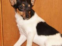 ACA Toy Fox Terrier Male Puppy, $ 50 EA, Born 11-7-14,