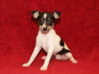 ACA Toy Fox Terrier Puppy, Born 2-2-15, 1 Male,