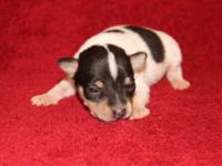 ACA Toy Fox Terrier Puppies, Born 4-30-15, 3 Males,