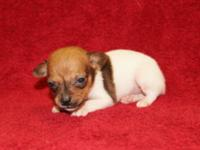 ACA Toy Fox Terrier Puppies, 3 Females, 3 Males, Born