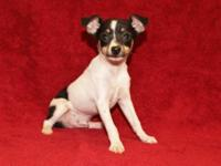 ACA Toy Fox Terrier Puppy, Born 2-2-15, 1 Male, $75 EA,