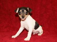 ACA Toy Fox Terrier Puppies, Born 4-30-15, 2