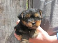 We have 2 adorable Yorkie puppies. They are ACA