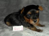 ACA Yorkie Female Teacup Puppy. Born 11-7 she can go