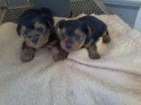 Aca yorkie pups 8 wks old first shot and. Worming
