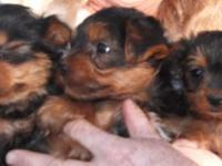 Here is a litter of 8 week old ACA registered Yorkie