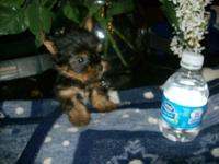 "CKC Yorkie ""Zoey"" mated with my little AKC teacup"