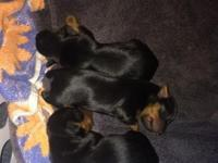 3 female Yorkies available beginning of May ACA
