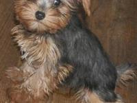 ACA Yorkshire Terrier Toy size Female. She is under