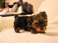 Yorkshire Terrier Puppies (May/20/2015) ACA