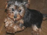 ACA Yorkshire Terrier Toy size Siblings 1 Male and 1