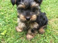 We have 2 boy Yorkshire Terrier pure bred young puppies