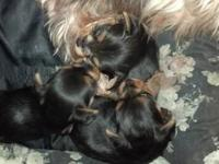 Adorable very small male Yorkie pups ACA registered,