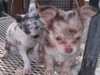 These 2 cute little Chihuahua puppies are simply over 8