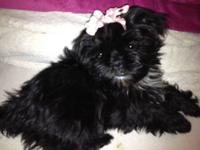 I have a tiny female black shih tzu puppy ready for a