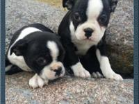 I have 3 male ACA signed up Boston terrier puppies.