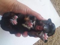 ACA papered dachshund for sale. All puppies will be vet
