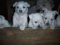 I am accepting a $100.00 deposit each on Westie puppies