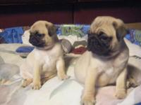 PLAYFUL FAWN SHADE PUG PUPPIES AVAILABLE. MALE AND