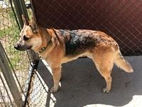 ACD x GSD Koba's story Please contact Monica R Larner