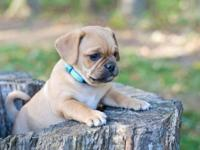 This adorable Juggle young puppy is 3/4 Pug. His mommy