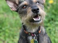 Ace is a loving Schnauzer/Miniature Pinscher who is