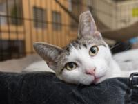 Ace is a seven-month-old white-and-tabby male. I was