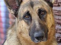 My story Ace von Aach is a gorgeous 1-2 year old German