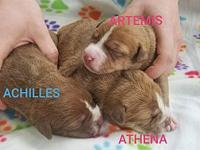 Achilles's story Achilles is a male pup from Joy aka