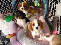 Little Si Cavaliers has puppies! We have a mixture of