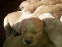 Gorgeous litter of ACK Registered Golden Retriever