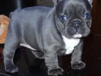 Active Blue and Cream French Bulldog Puppies.They are