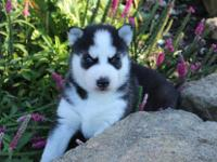 ACTIVE MALE AND FEMALE SIBERIAN HUSKY PUPPIES FOR SALE