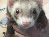 ALL ferrets are microchipped, shots up to date, vet