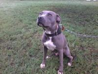 Beautiful ADBA registered Blue Nose American Pit