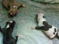 Beautiful, loving, and healthy American Bully pups