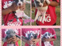 Hi I have some blue pitbull puppies with ADBA papers