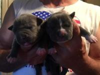 ADBA registered Blu Pitbull Pups 3 males 2 females born