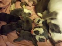 We simply had a litter of blue n white pitbull young