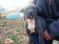 ADBA registered Pit Bull puppies, Gator bloodline. 2