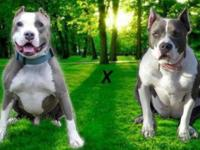 , Public Water. American Pit bull Terrier Puppies