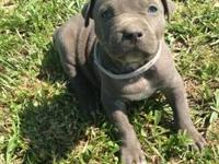 ADBA REGISTERED BLUE AMERICAN PIT BULL TERRIORS---Born